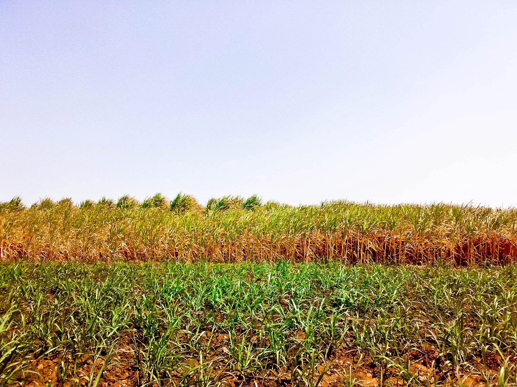 حقل من قصب السكر في اخر نقطة من الصورة نقوم باستخدامه ك (زريعة) أي تقاوي نزرع منها مرّة أخرى القصب