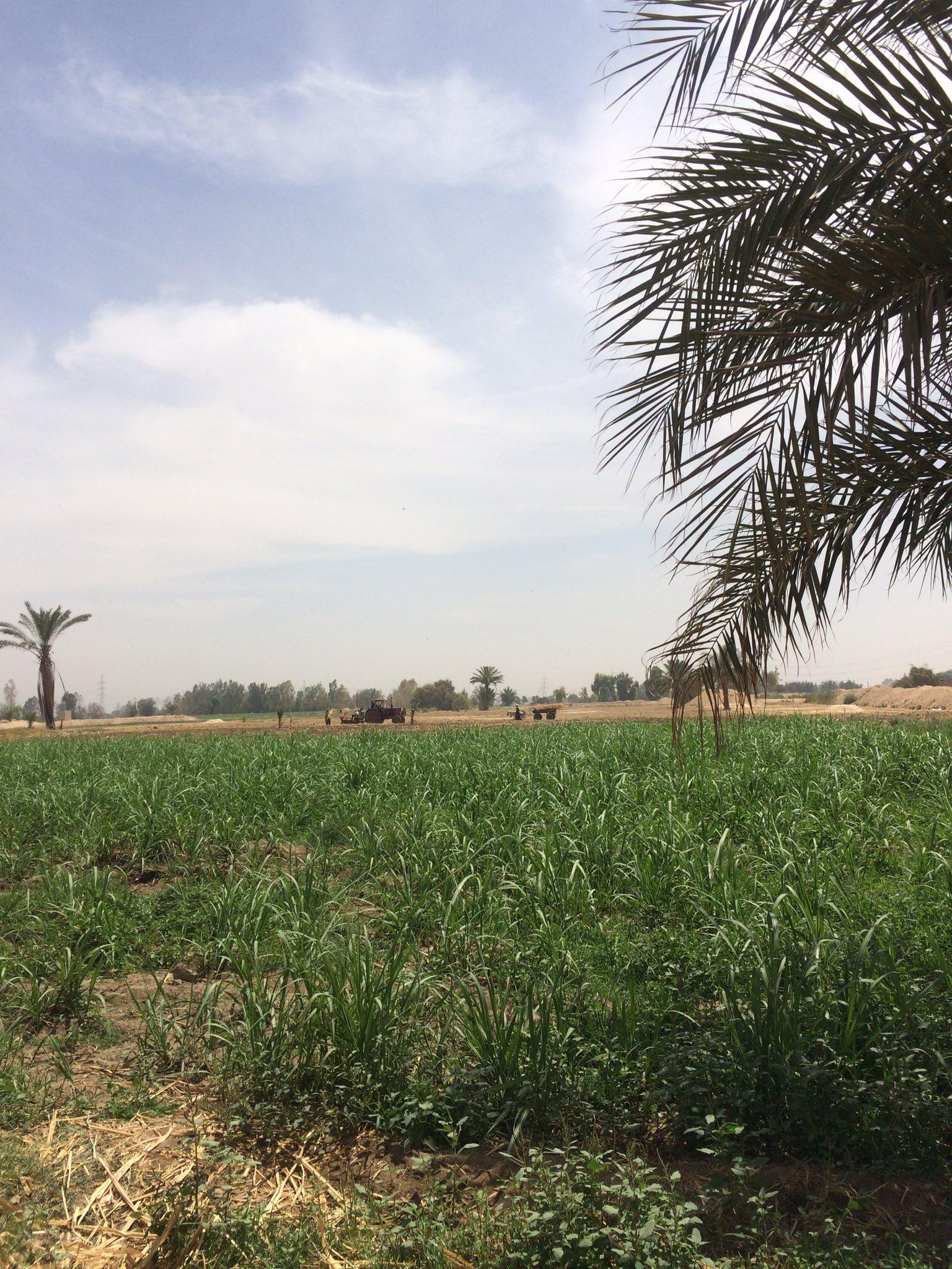 موسم زراعة قصب السكر بعد حصاد القمح